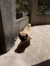 Cadela pug
