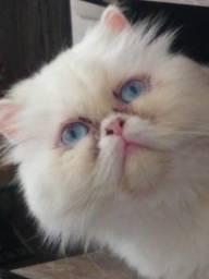 Procura-se namorado para minha gata persa