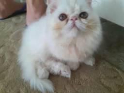 Vendo filhote persa