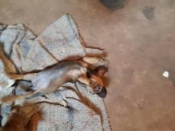 Basset dushund