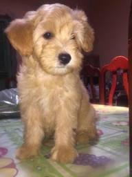 Vende-se Filhote Poodle Macho