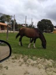 Cavalo Crioulo Barbada