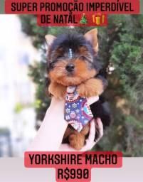 Super promoção imperdível de Natal! Yorkshire Macho R$990 contrato garantia