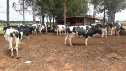 Vende-se vacas Girolando com ótima produção