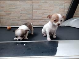 Título do anúncio: Chihuahua fêmea
