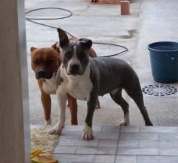 Título do anúncio: pitbull blue nose