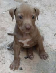 Filhote American pitbull terrier red nose