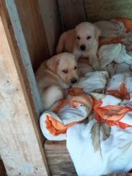 Vendo cachorro de filhote labrador