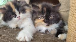 Título do anúncio: Gatos persas filhotes