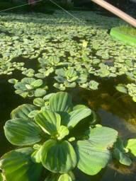 Alface d?água para lagos e tanques