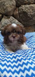 Shih tzu chocolates raros