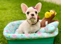 Fofura de Fêmea Bulldog Francês Com pedigree