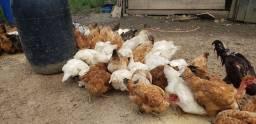 Vendo galinha caipira.