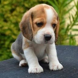 Título do anúncio: Beagle lindos filhotes a pronta entrega e encomenda macho e femea !!!