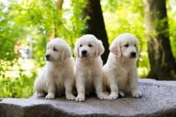 Título do anúncio: Filhotes de Golden Retriever disponível
