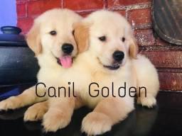 Golden Retriever Filhote com Pedigree + Vacina Importada