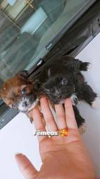 Título do anúncio: Cachorrinhos lhasa apso macho fêmea