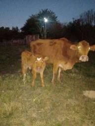 Vacas com terneiro