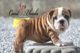 Bulldog Inglês lindos filhotes machos disponíveis para entrega no mês de Agosto
