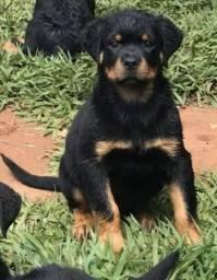 Filhotes de Rotweiller com 83 dias, pedigree CBKC, disponíveis!!!