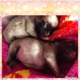 Filhotes de Pug para reserva