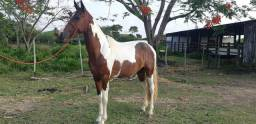 Égua Mangalarga Machador