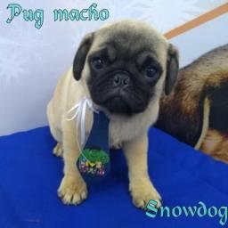 Pug macho abricó, com condições imperdíveis na Snowdog !