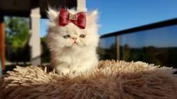 Gatos Persa Casal Lindo