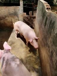 Porco brancos