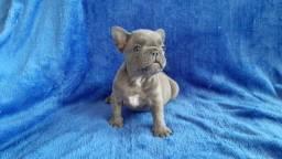 Bulldog francês blue sólido buldogue blue