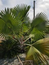 Palmeira Azul (Bismarckia)