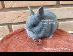 Filhote de mini coelho
