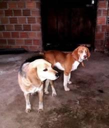 Tenho Beagle Chocate puro para reprodução