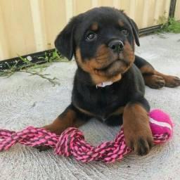 Título do anúncio: Rottweiler filhote disponível