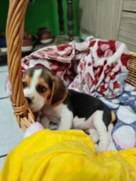 Título do anúncio: Beagle