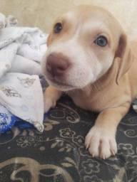 Título do anúncio: Vendo filhote recém-nascido 19dias pitbull