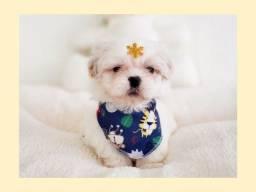 Título do anúncio: Shih tzu macho lindo príncipe / NamuRoyal loja