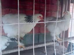 Título do anúncio: Vendo duas galinha Bramha  e um galo  250R$
