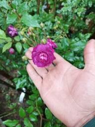 Título do anúncio: Mudas de rosa trepadeira lilás