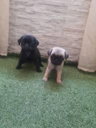 Pug abricó e pretinho