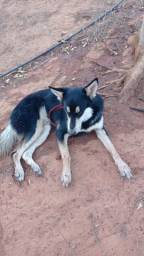 Título do anúncio: Cachorro Husky Siberiano
