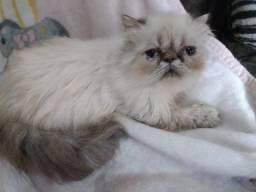 Título do anúncio: Lindos Gatinhos Persa exoticos