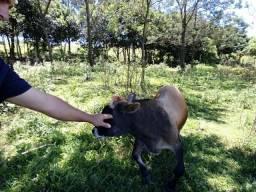Mini touro troco por terneira