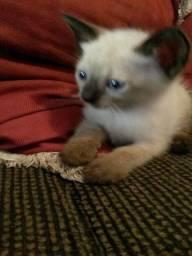 Lindos Gatinhos Siamês