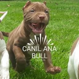 American Pitbull Terrier Filhotes Disponíveis - S.O.R.T.E.I.O De Filhote Cinza