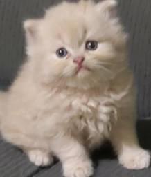 Filhotes de gatos persas tricolor,creme e cinza femea e macho.Entrego em Curitiba e região