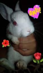 Coelha branca olhos vermelhos pura!