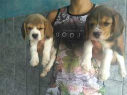 Filhotes de Beagle Fêmeas