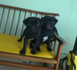 Pug Filhotes de pug preto, machos, puros e com pedigree