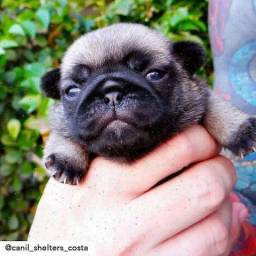 Pug macho Recife Pe